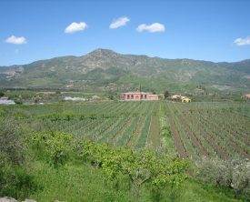 organic_cultivation_in_Calderara_vineyard-thumb-2048x1536-1265
